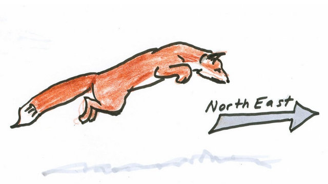 NPR: Snow-Diving Foxes