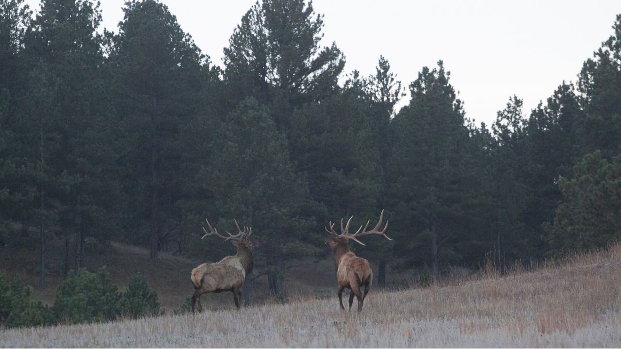 Photo of elk in the Black Hills