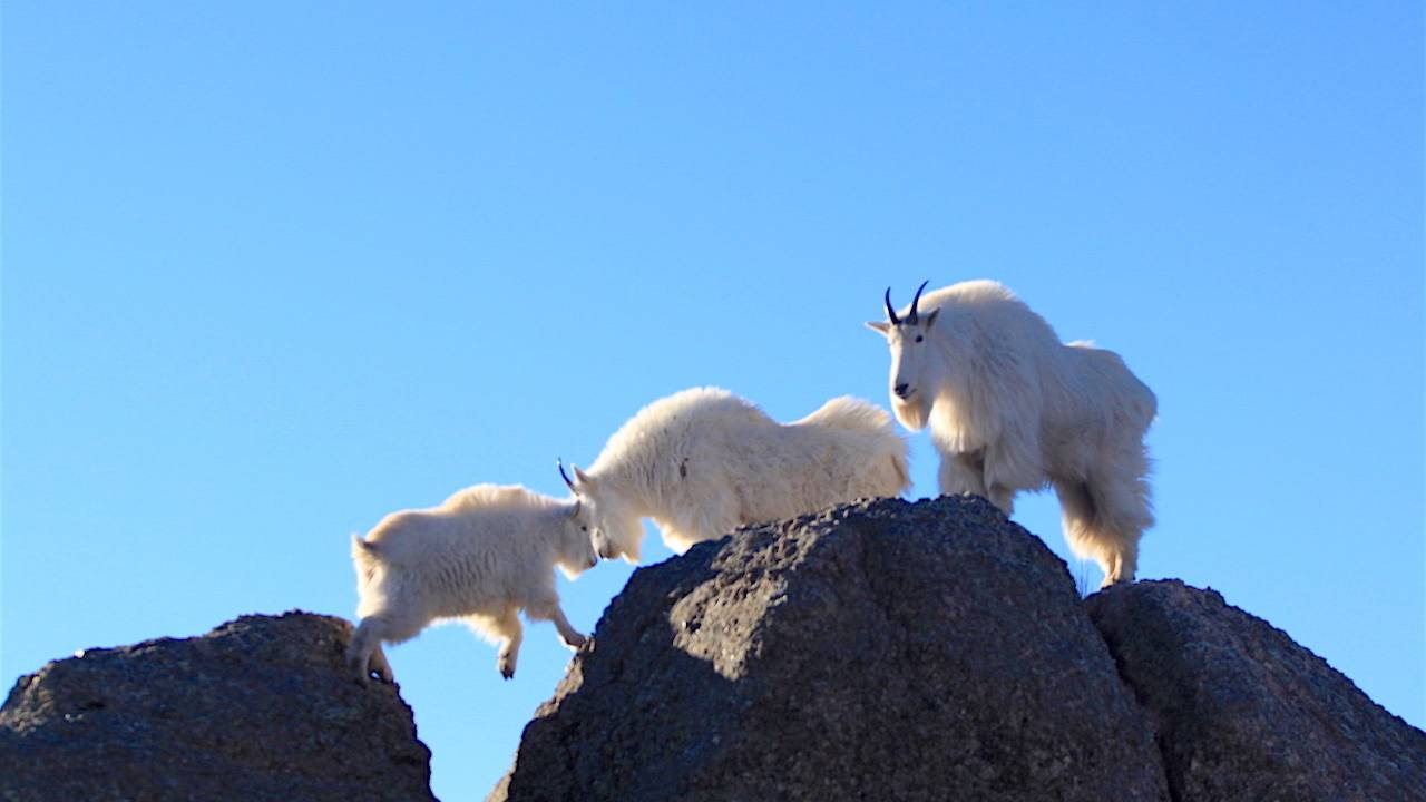 picture of mountain goats