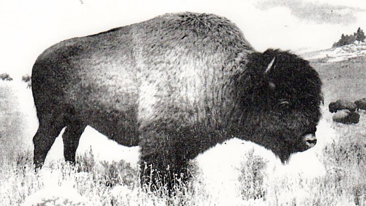 Photo of an American Bison