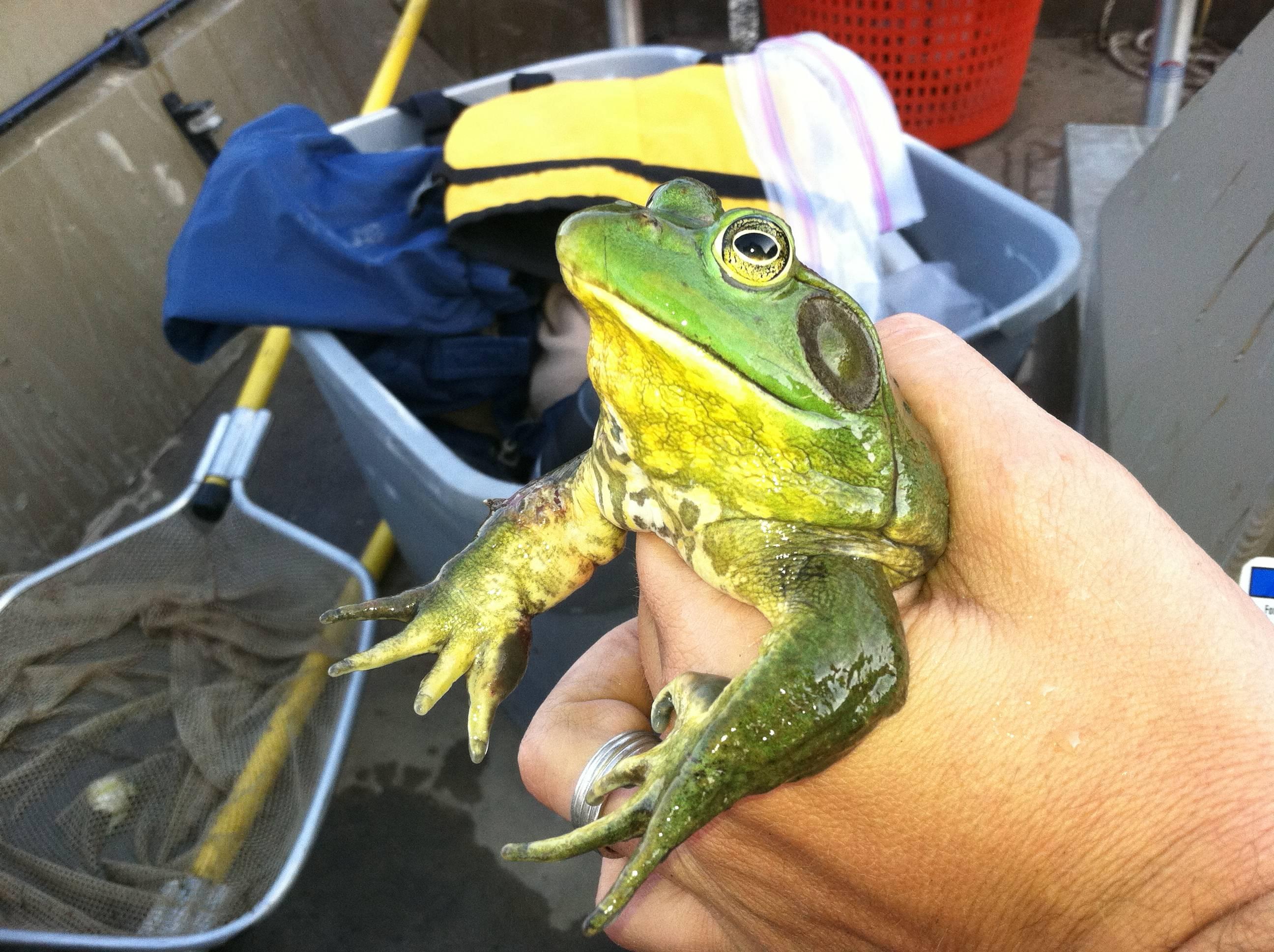American Bullfrog in South Dakota