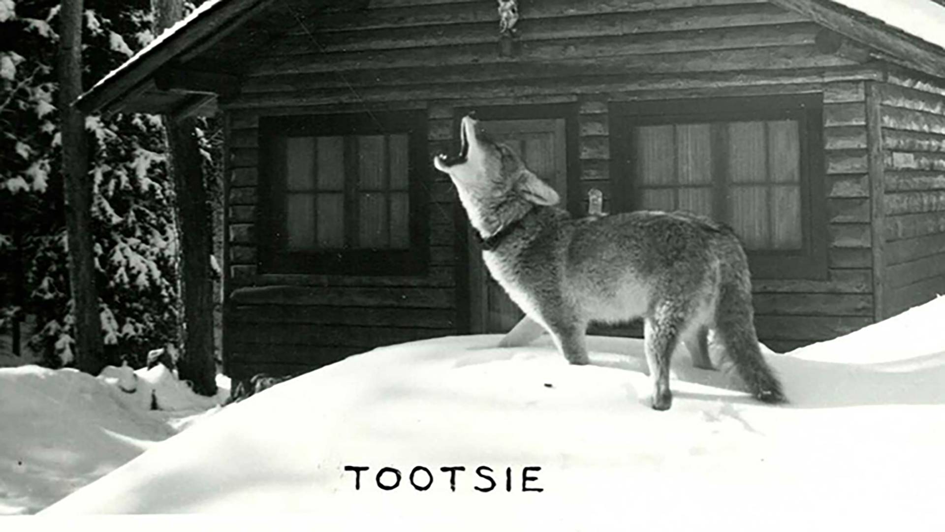 Tootsie the coyote