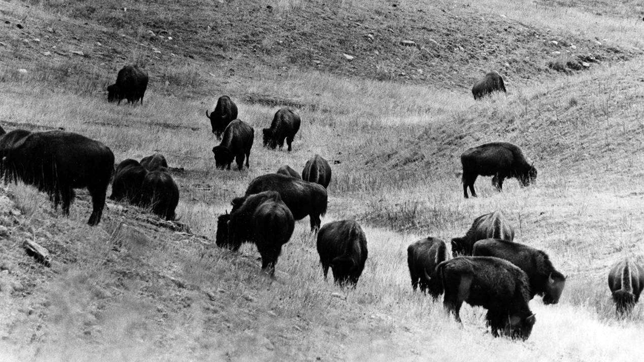 Bison grazing in Custer State Park - 1970s