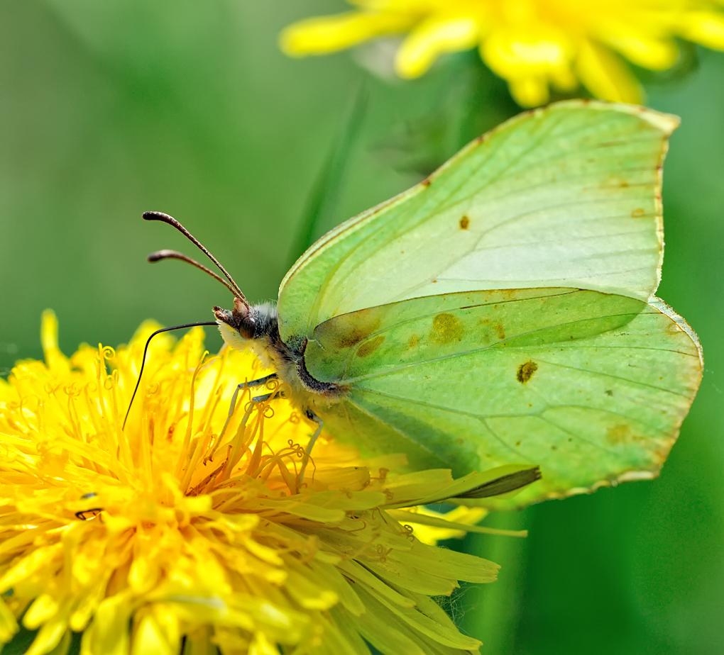 Image - Butterfly_on_a_dandelion.jpg