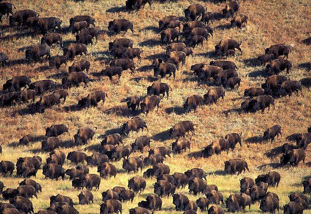 Image - Buffalo 2.jpg