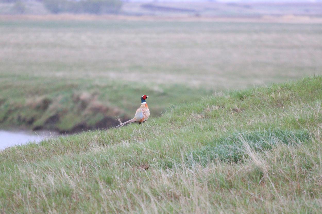 Image - pheasantweb.jpeg