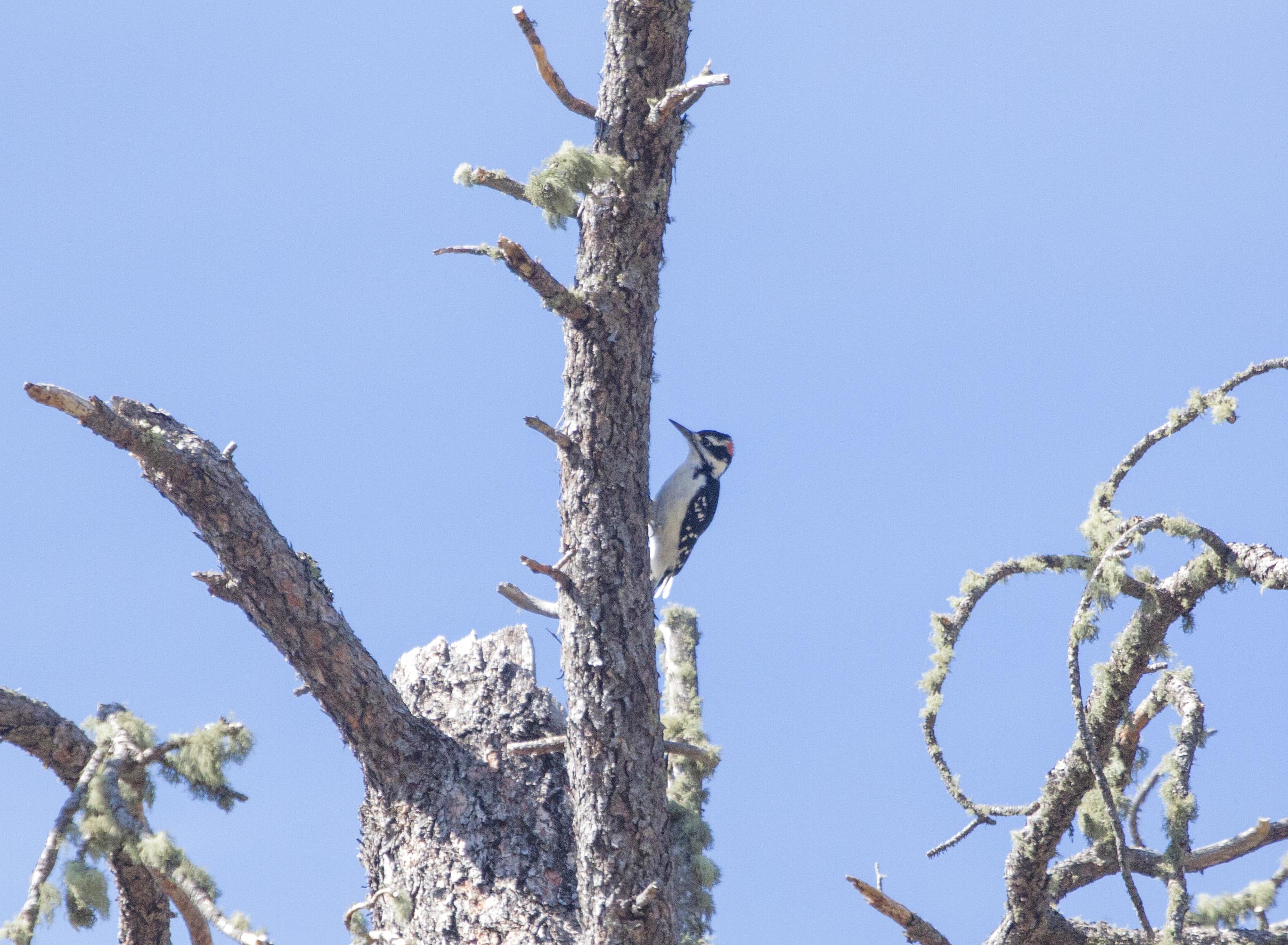 Image - woodpecker4.jpg
