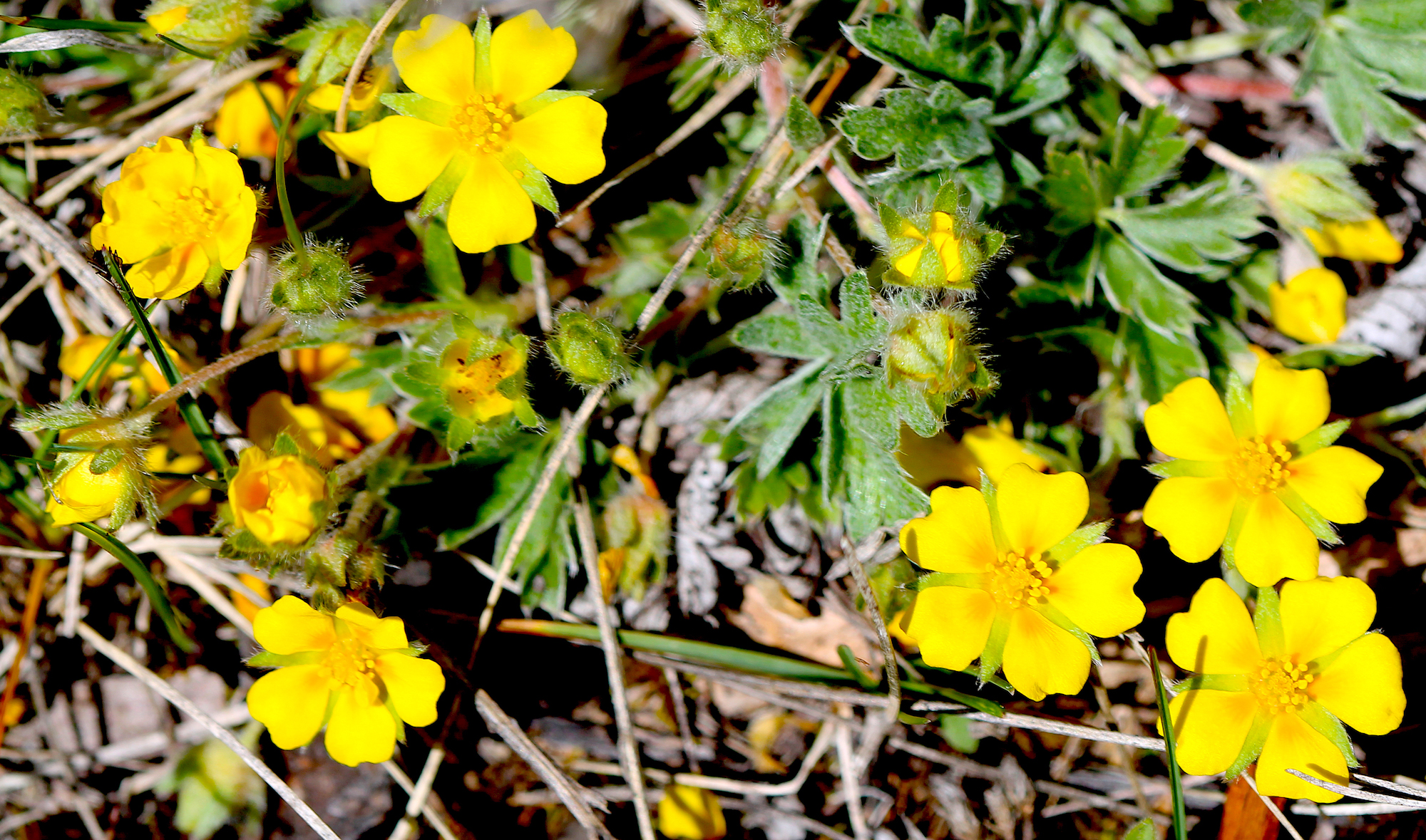 Image -  early cinquefoil2.JPG