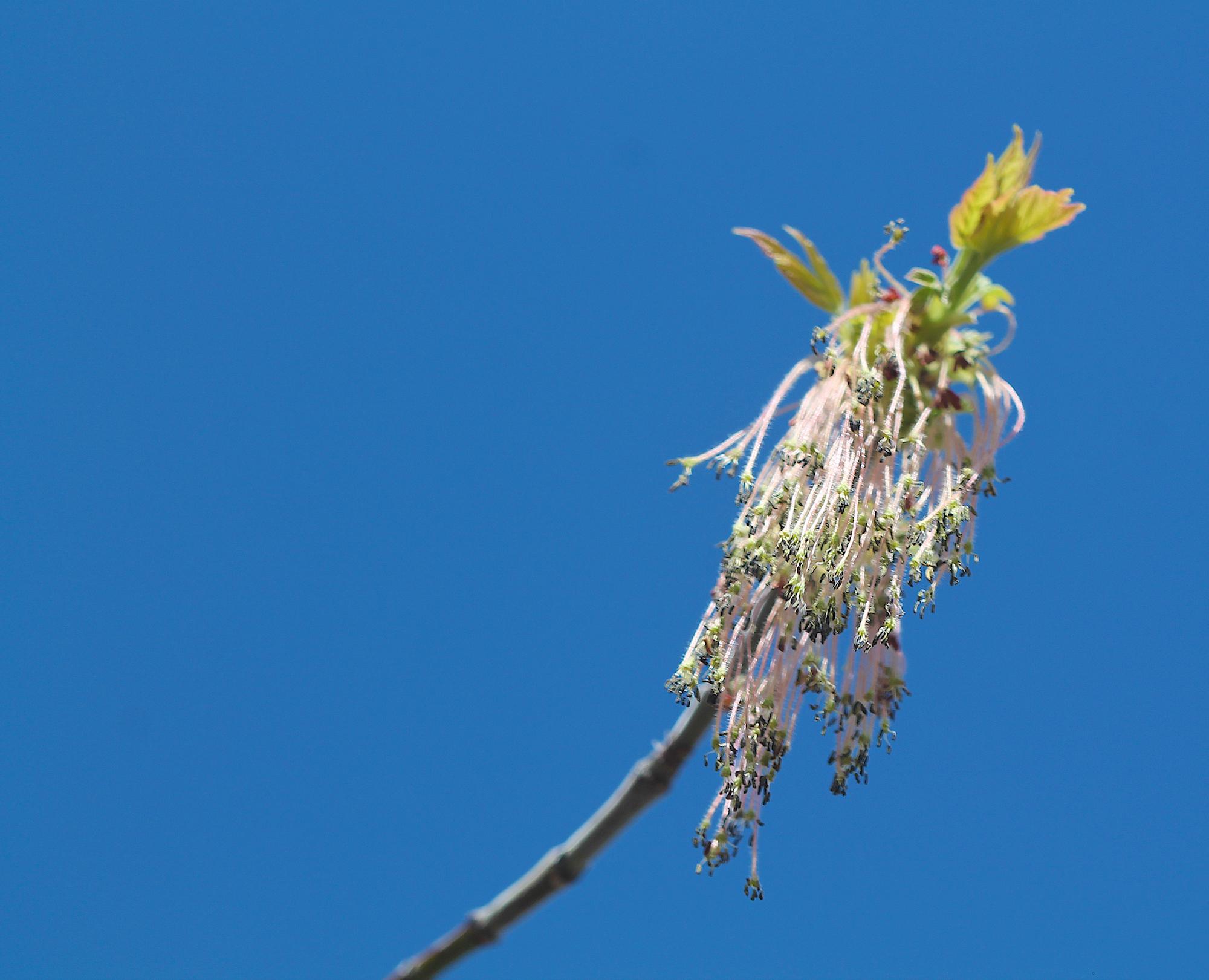 Image - box elder flowers4.JPG