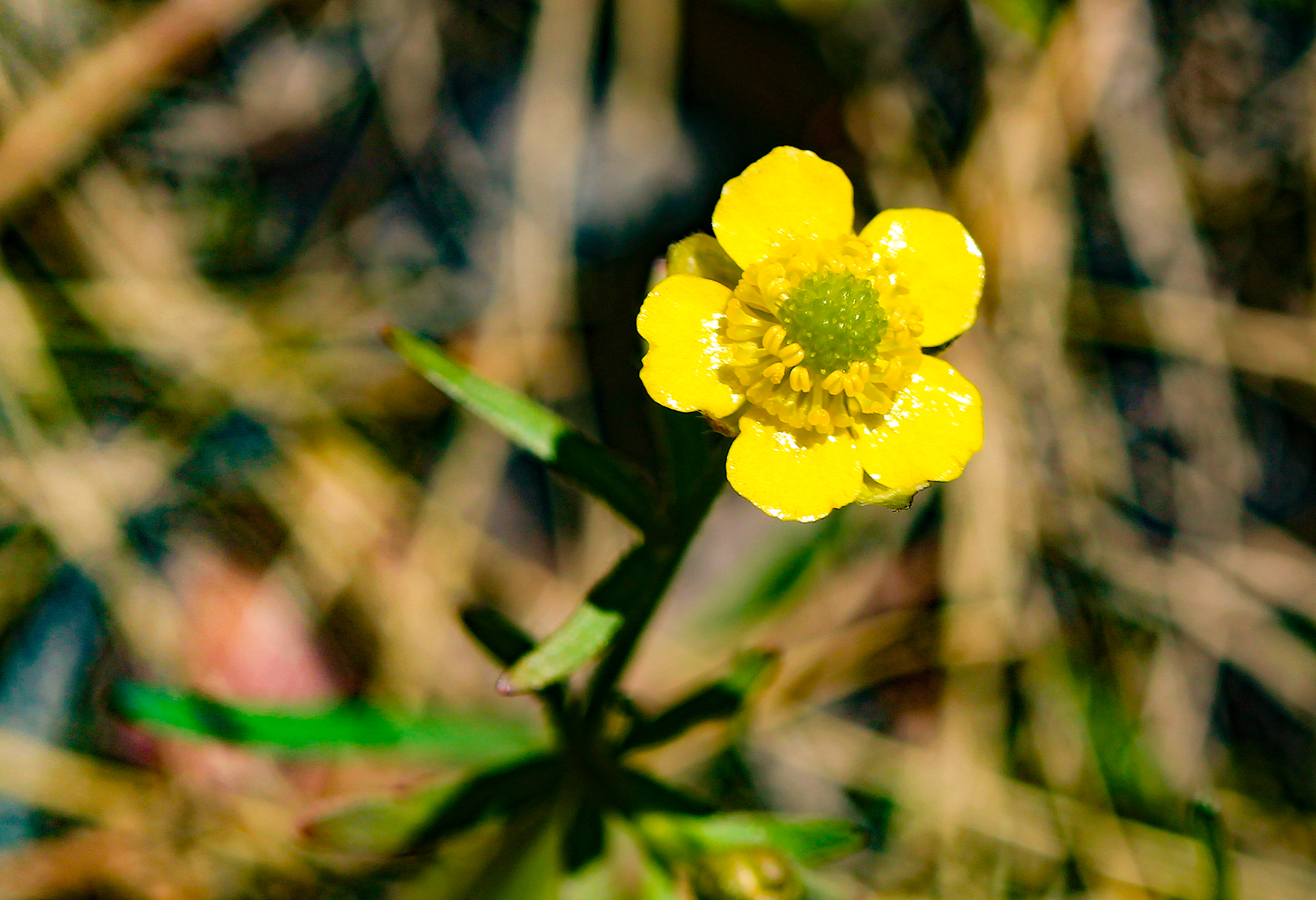 Image - buttercup2.JPG