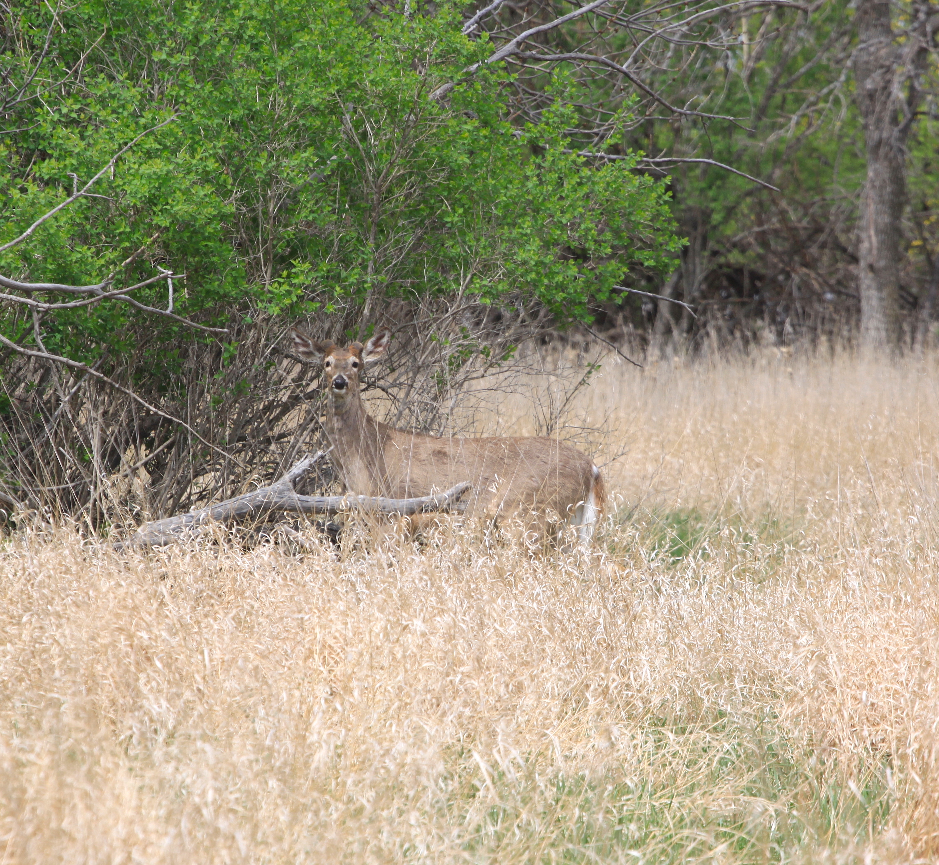 Image - deer2.JPG