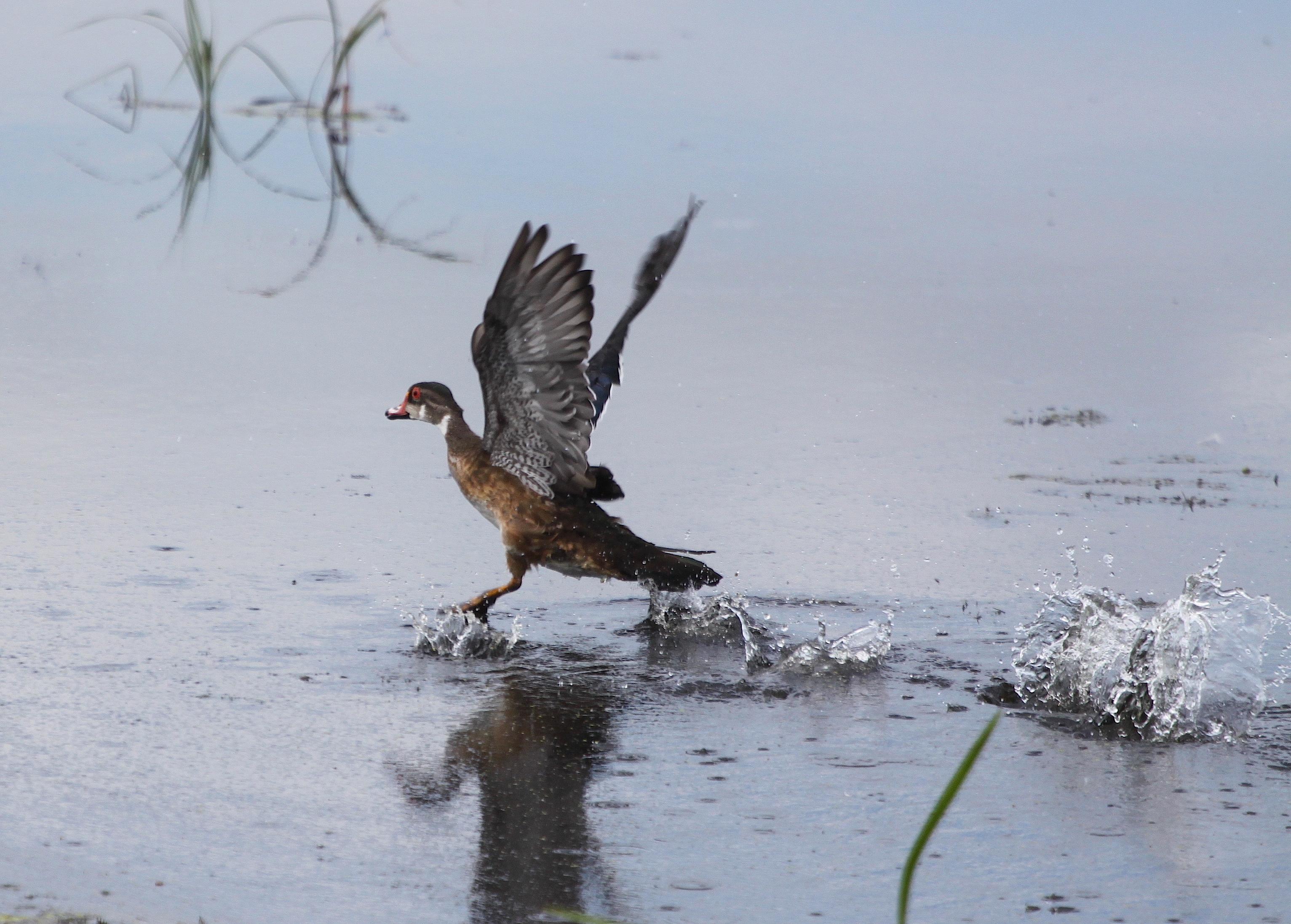 Image - duck2.JPG