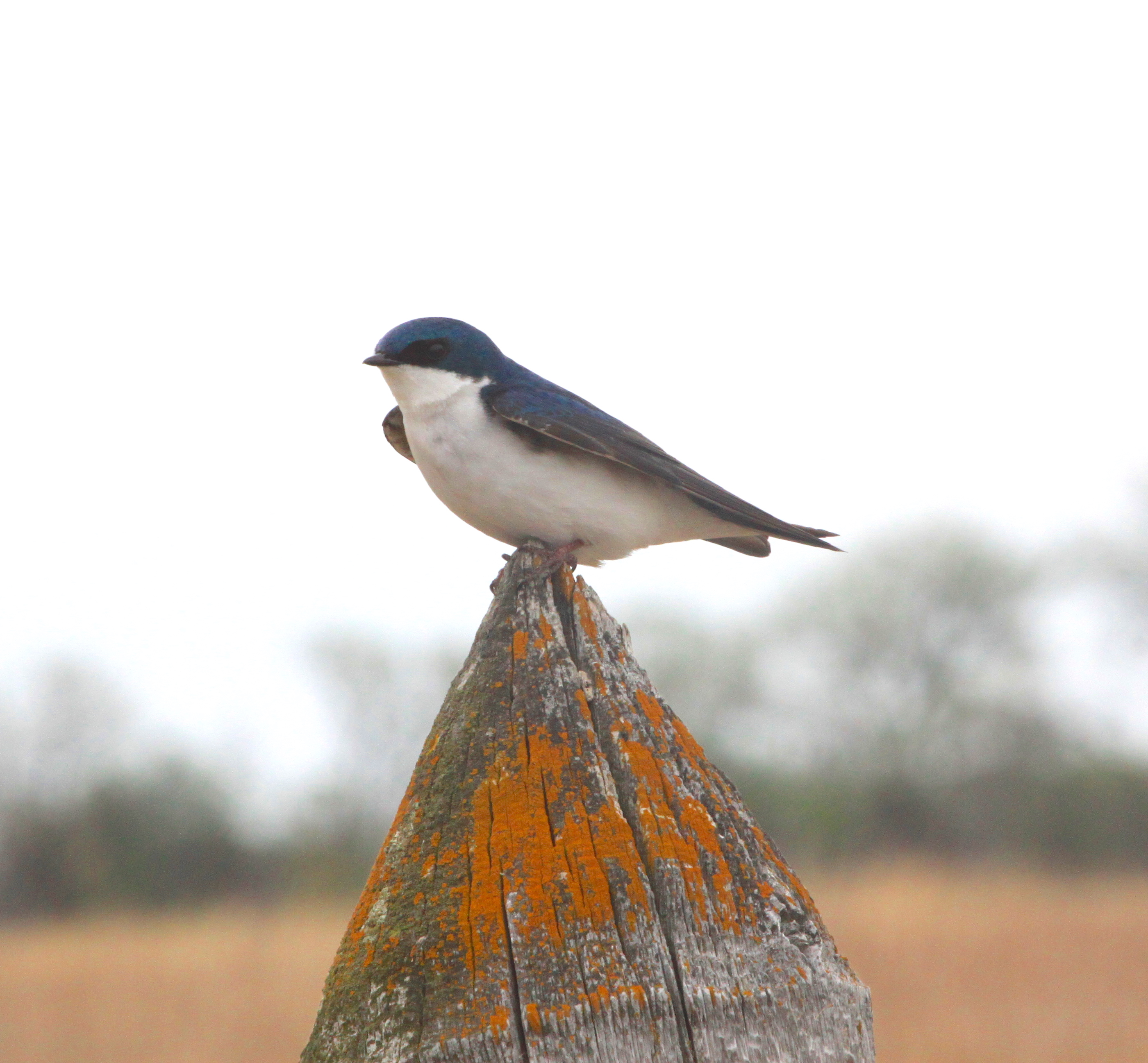 Image - easternkingbird.JPG