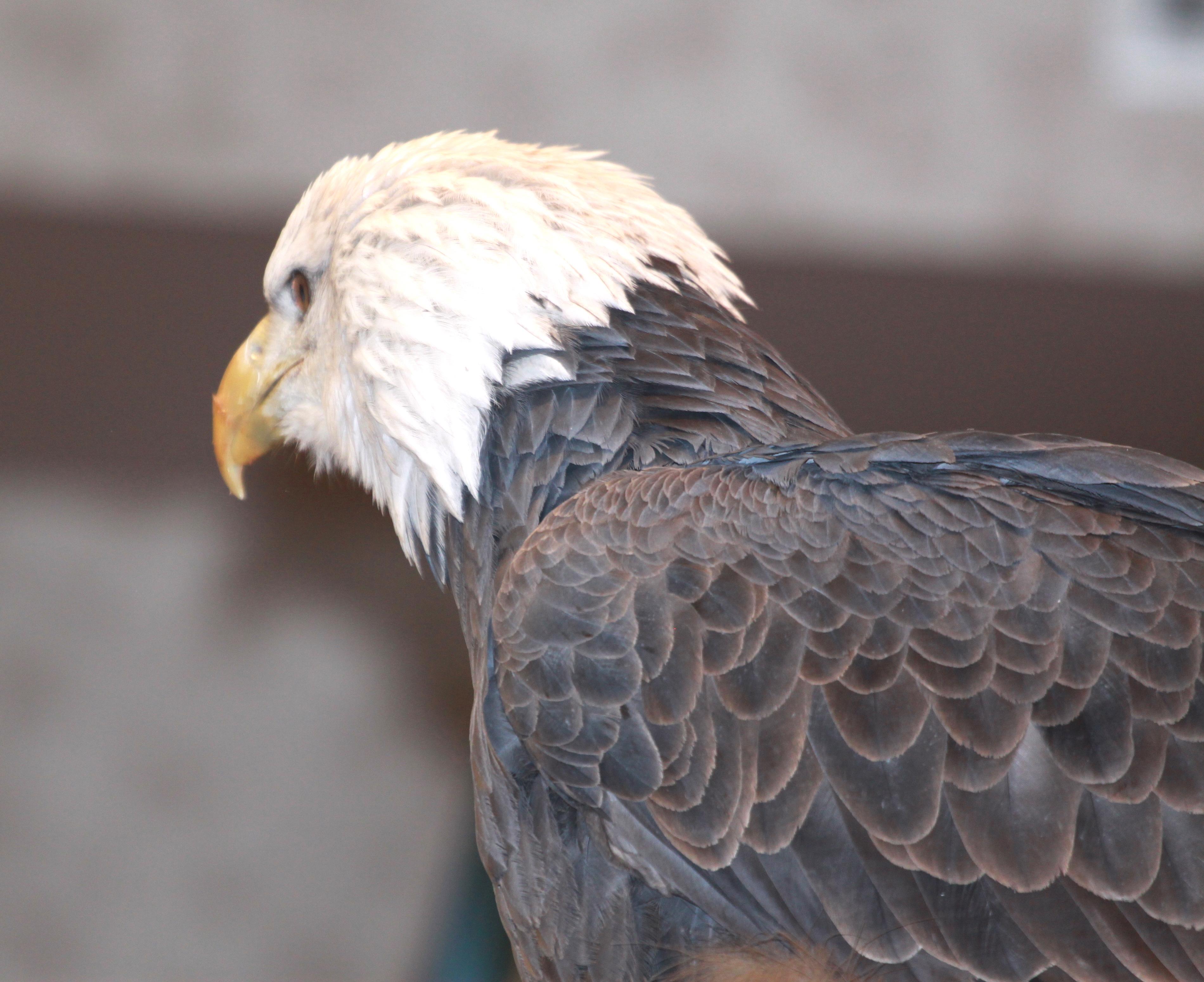 Image - eagle1.JPG