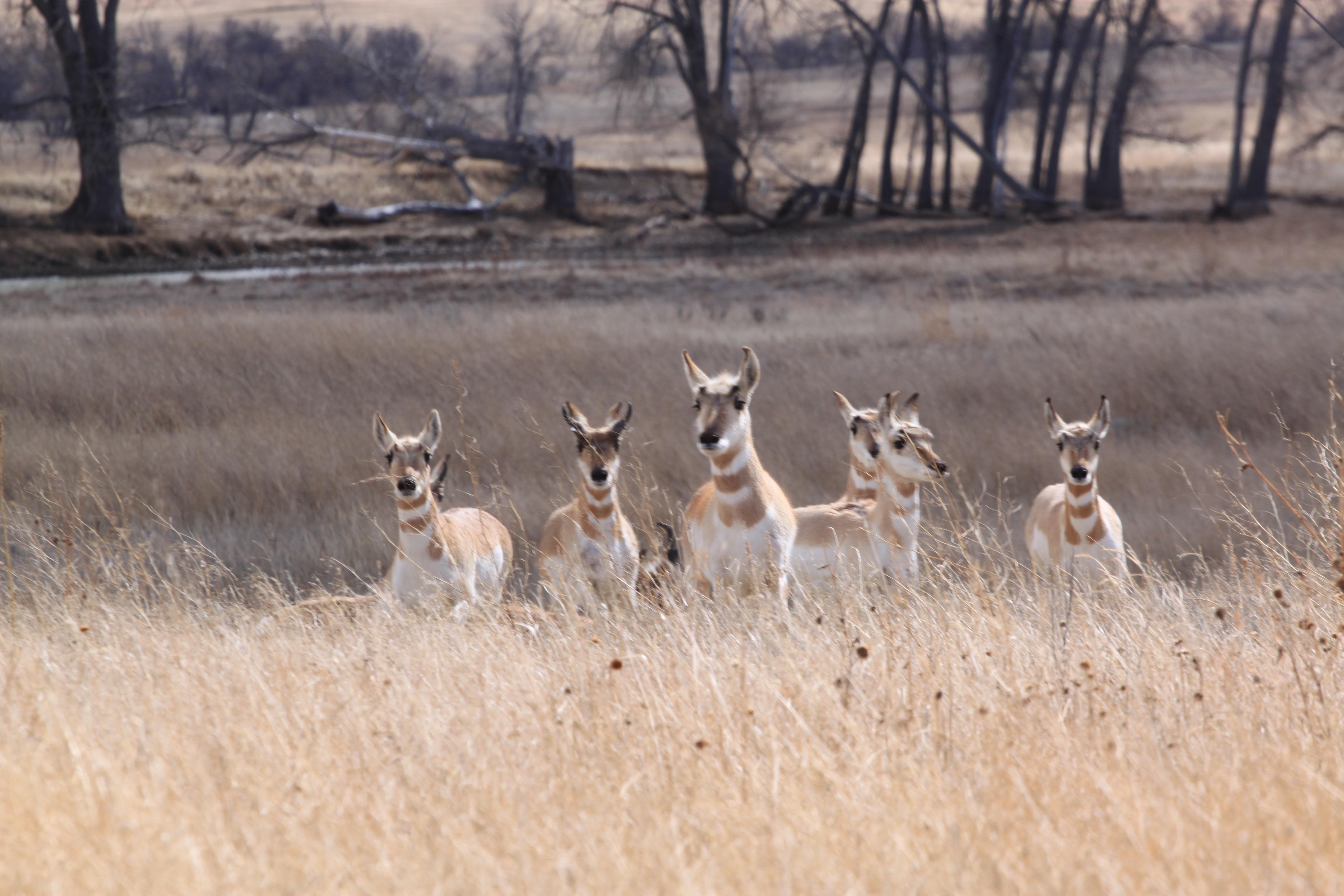 Image - antelope.JPG