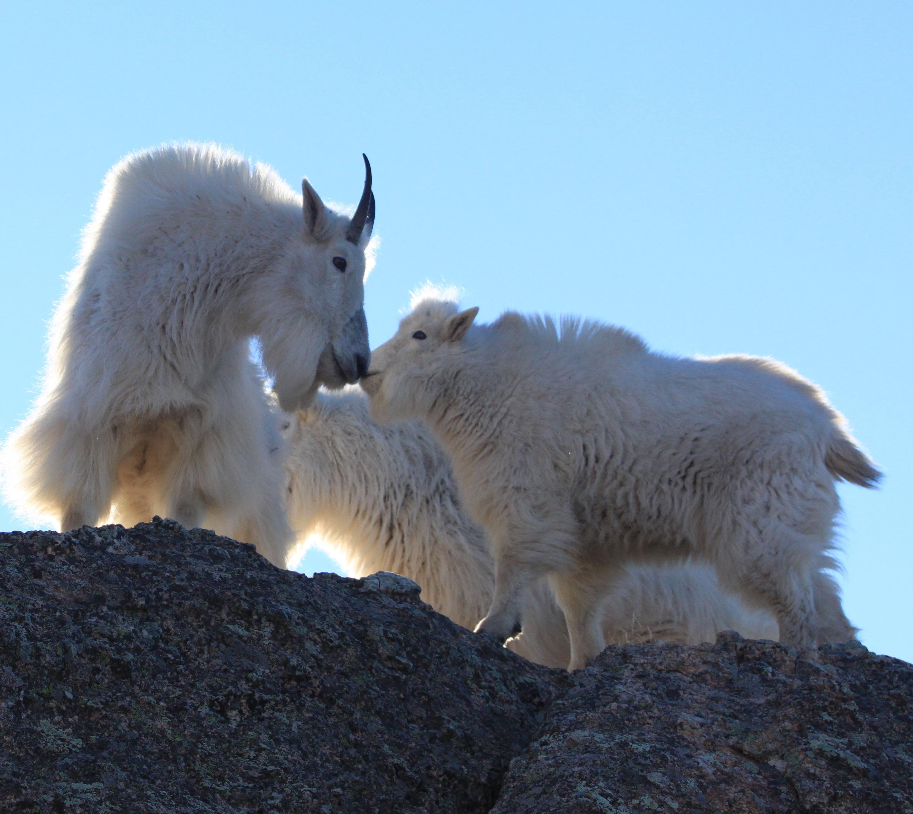 Image - goats29.JPG