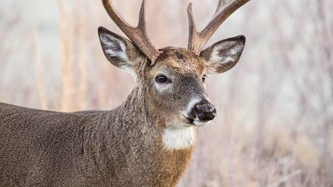Image - deer sd gfp.jpg