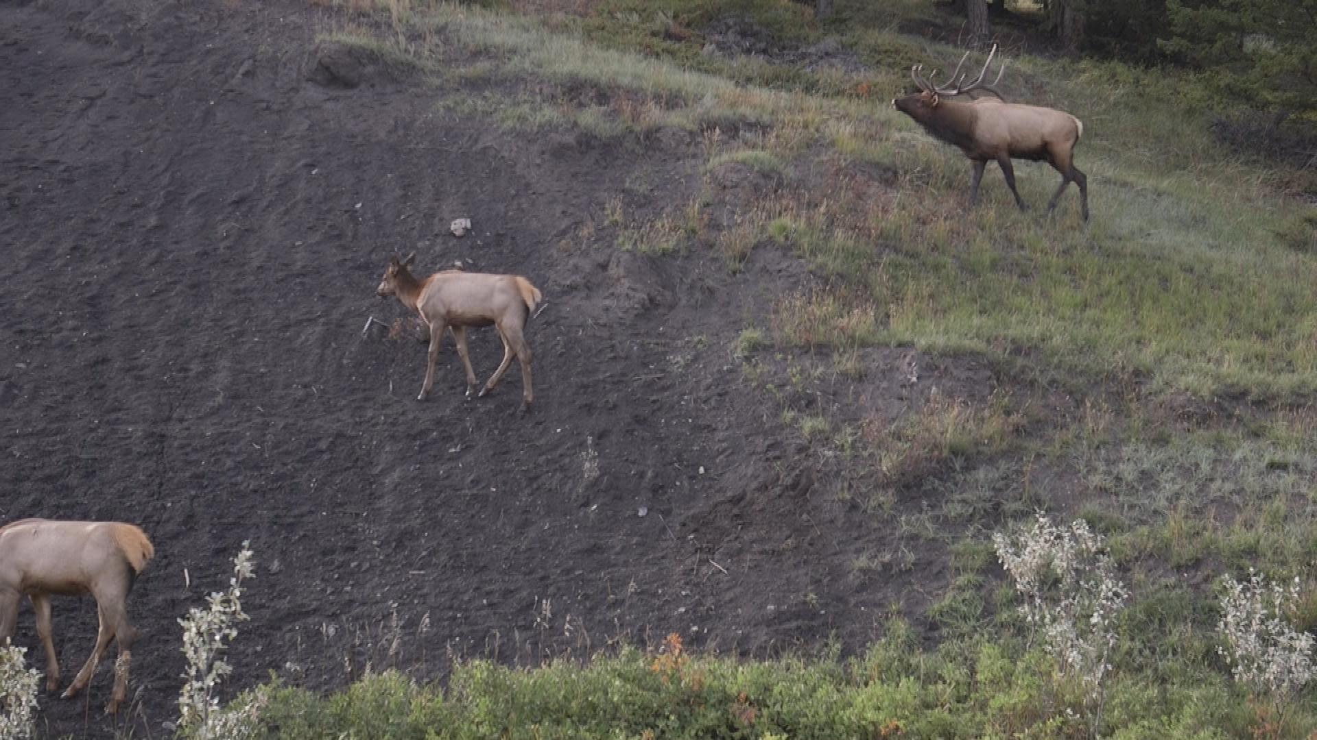 Elk greet the train as it nears Kamloops.