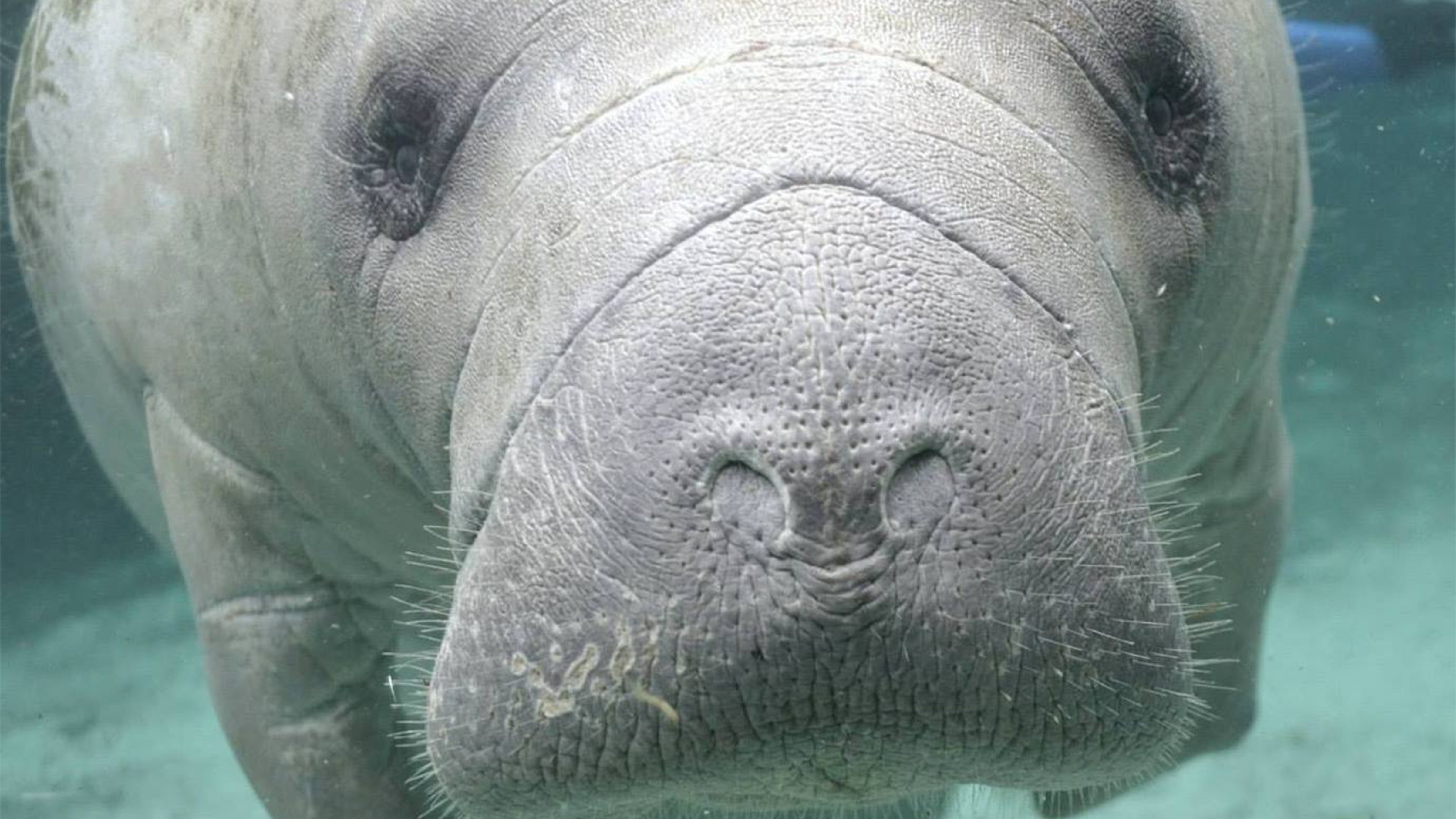 Manatees: Conserving a Marine Mammal