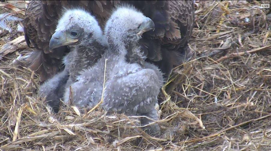 Decorah Eagles LIVE: From Nesting to Hatching