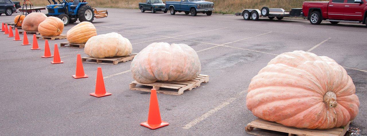 seven big biggest pumpkin pumpkins William Marcus