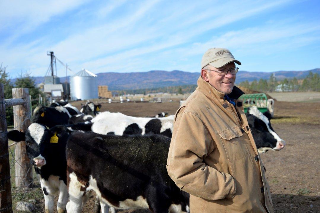 Bill Hedstrom wanders his dairy cattle Kalispell Kreamery