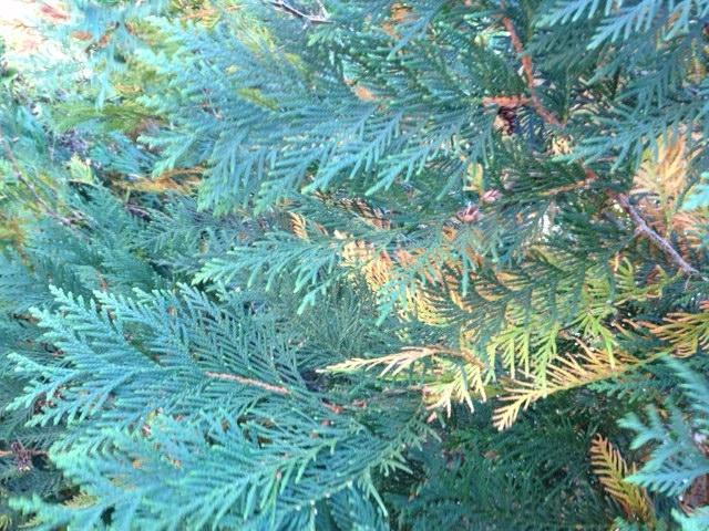 Evergreen tree.