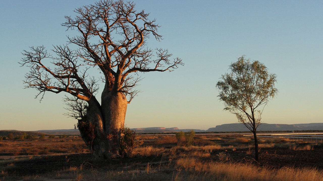 Boab Tree - THE OUTBACK