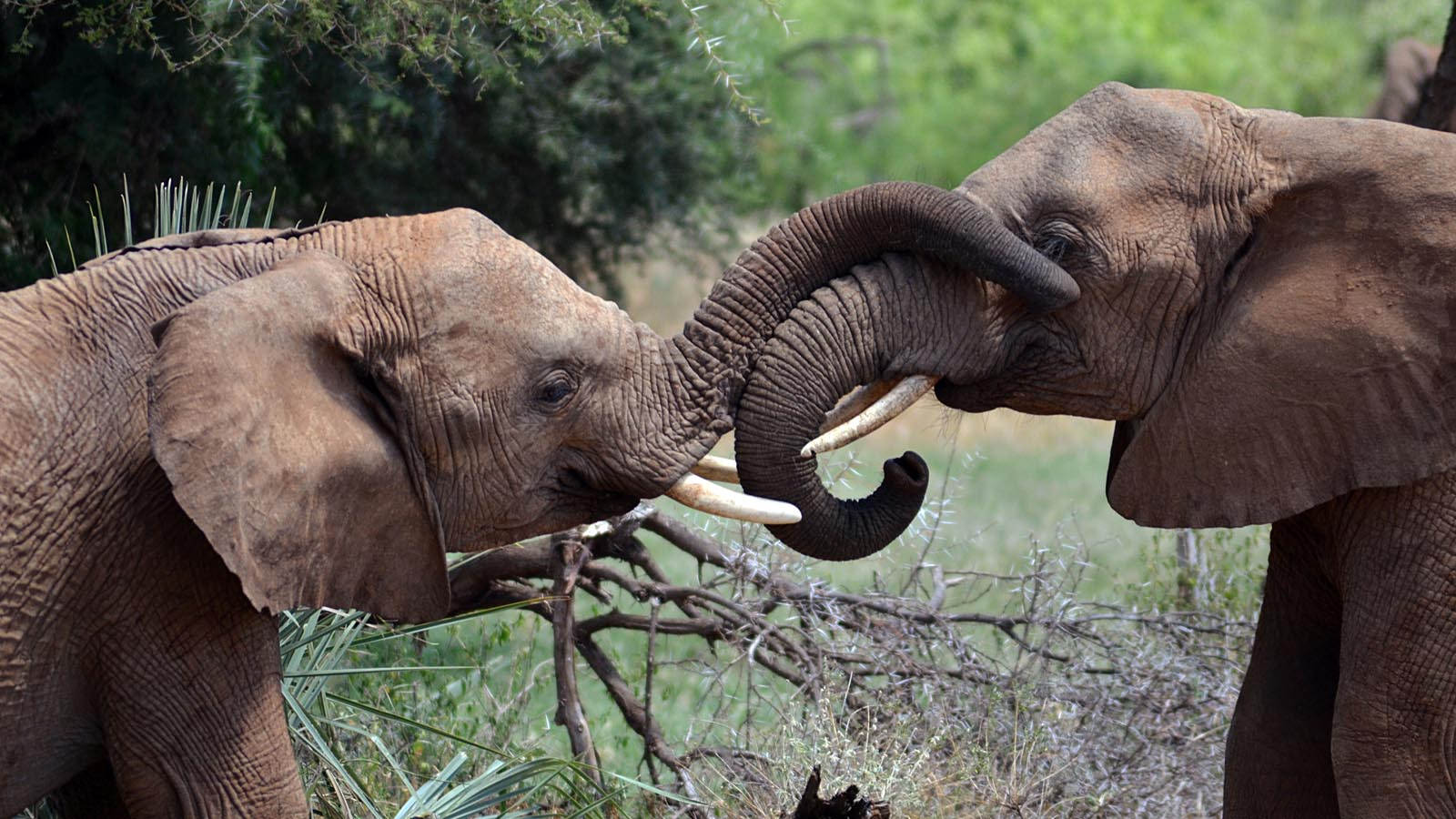 Young elephants interacting in Samburu National Park, Kenya