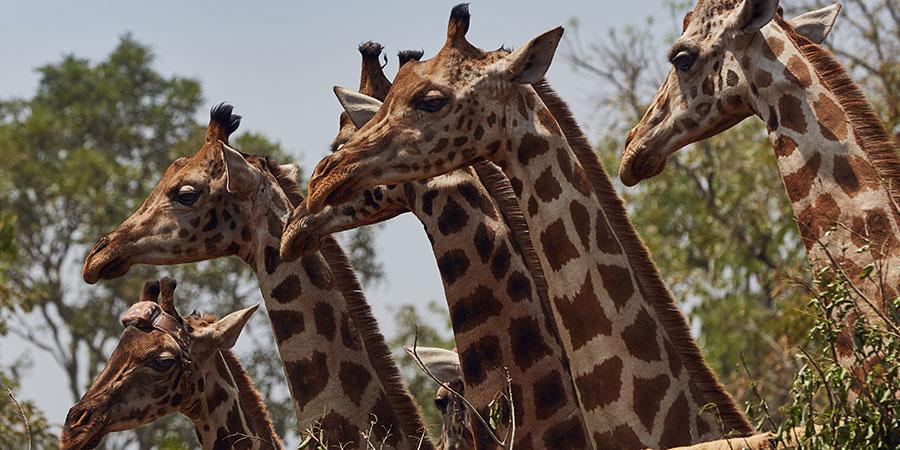 Nature Giraffes