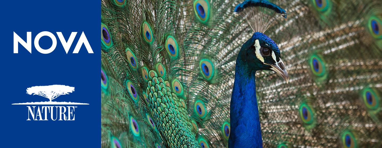 Nova & Nature, Photo of a Peacock